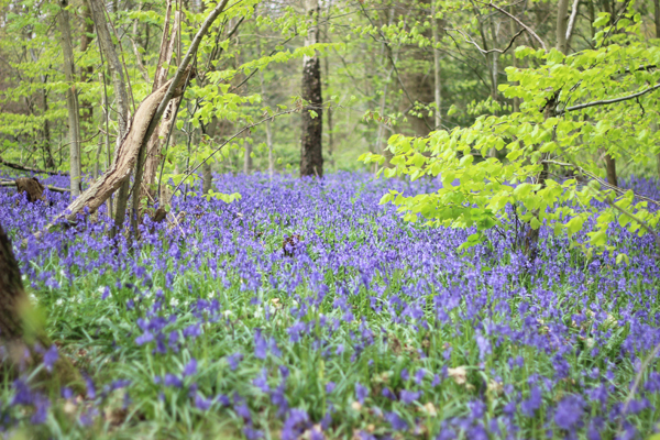 Bluebell woods | Growing Spaces