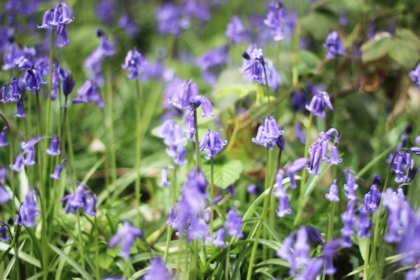 Bluebells | Growing Spaces