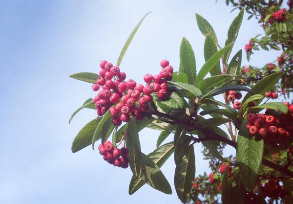 Red berries, blue sky | Growing Spaces