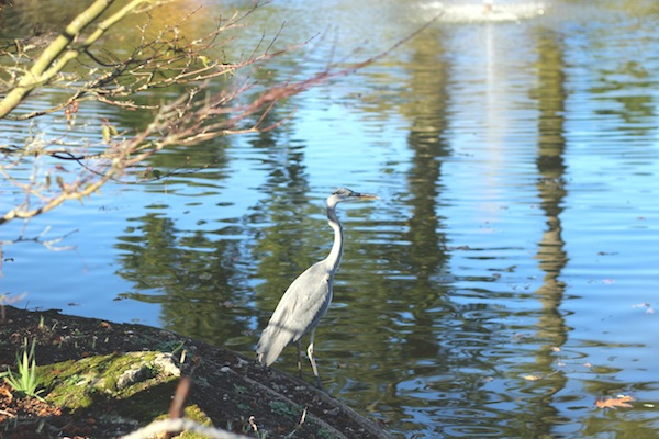 Heron at Cliveden | Growing Spaces