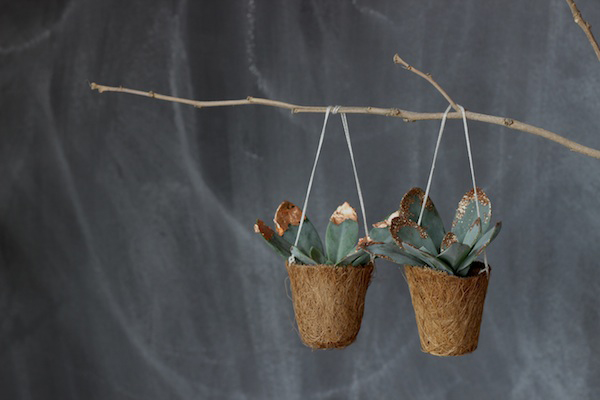 Christmas succulents | Growing Spaces