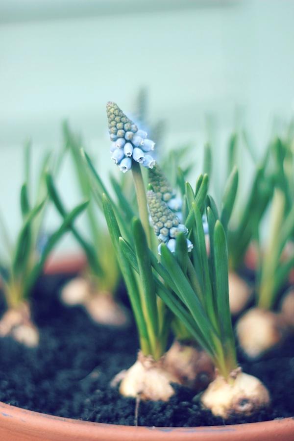 Grape hyacinth planter | Growing Spaces