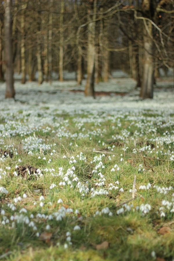 Welford Park snowdrops | Growing Spaces