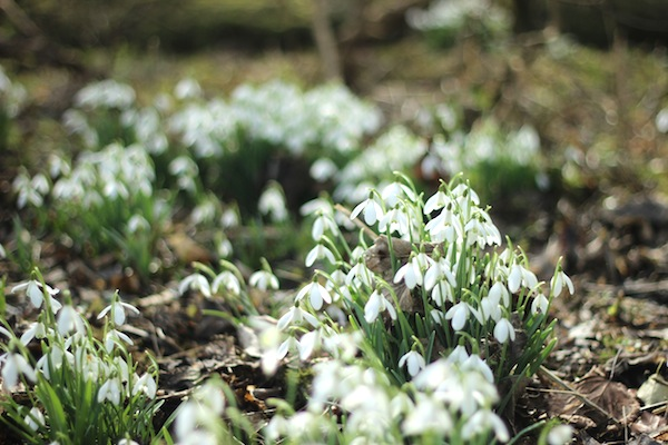 Snowdrops at Welford Park | Growing Spaces