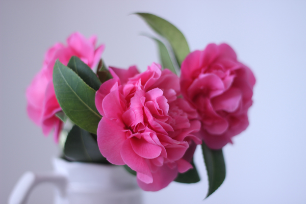 March camellia | Growing Spaces