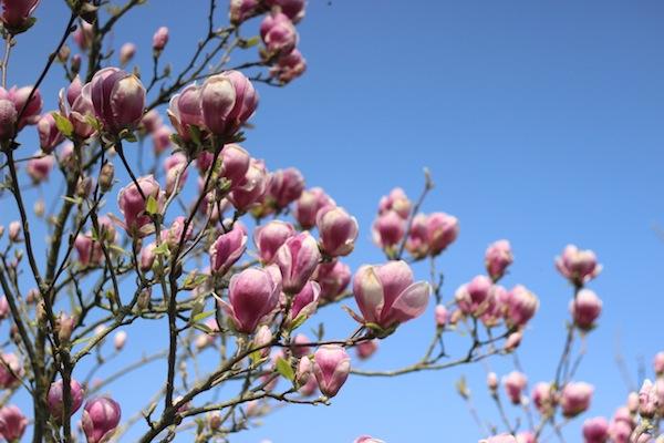 Spring magnolia | Growing Spaces