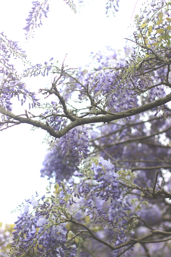 Wistful wisteria | Growing Spaces