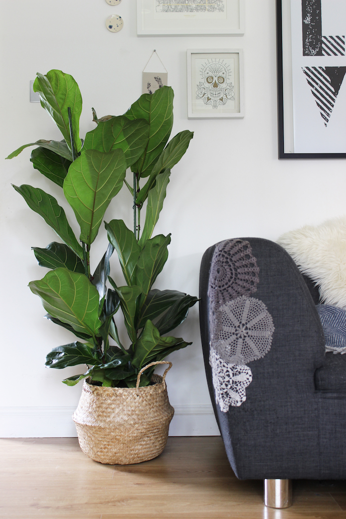New love: my fiddle leaf fig (ficus lyrata)