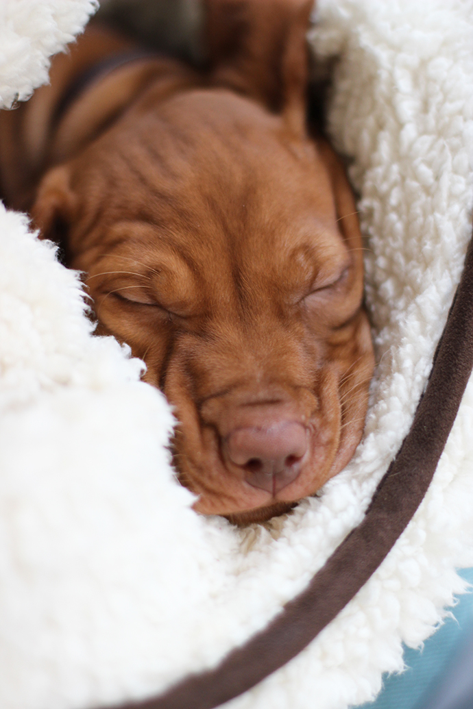 Cute Alert Introducing Our New Vizsla Puppy Lyra Growing Spaces