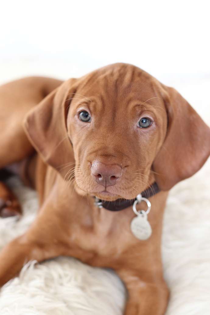 Cute alert! Introducing our new vizsla puppy Lyra